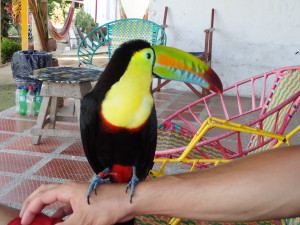 Toucci the toucan