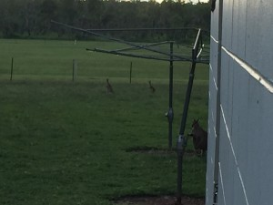 Wallaby sneak attack